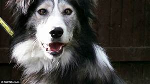 Dennis the Collie left in rescue centre because of his ...