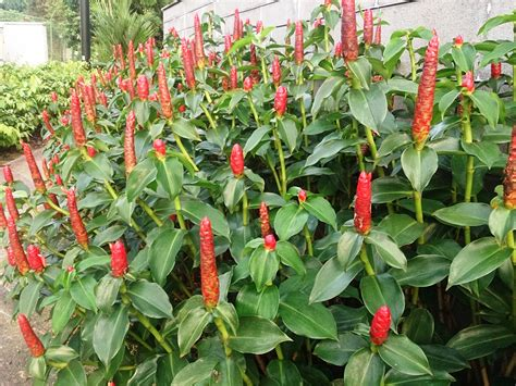 miniature fruit trees file button costus woodsonii 5 jpg