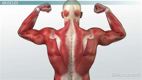 Muscular System Images Important Structures Vocabulary Of The Muscular System