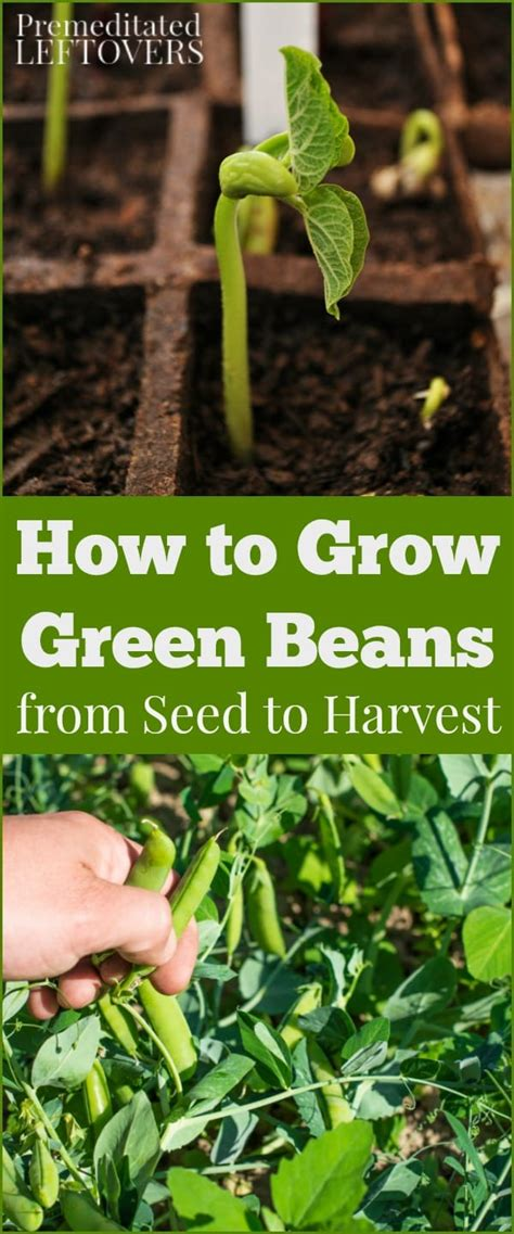 how does it take to steam green beans how to grow green beans in your garden from seed to harvest