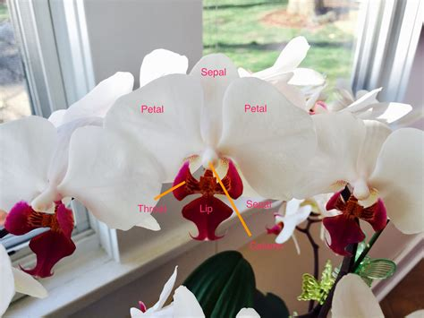 how to cut back an orchid after blooming orchid blooms why wont my orchid bloom my first orchid