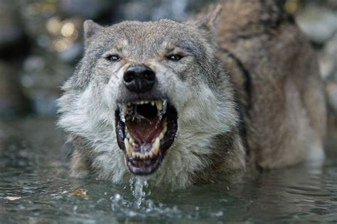 Angry Lone Wolf Wallpaper by Wolf Hd Wallpaper Iphone Impremedia Net