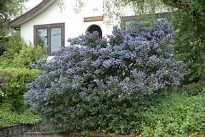 Victoria California Lilac (Ceanothus thyrsiflorus