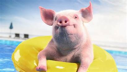 Pig Funny Ring Rubber Pool Animal 1080p