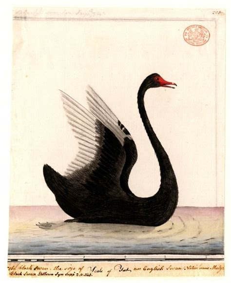 vintage bird illustration black swan vintage print
