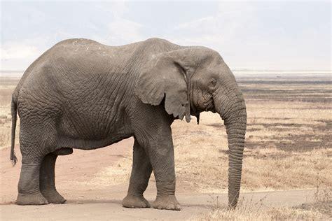 elephant poids taille duree de vie nombre de bebes