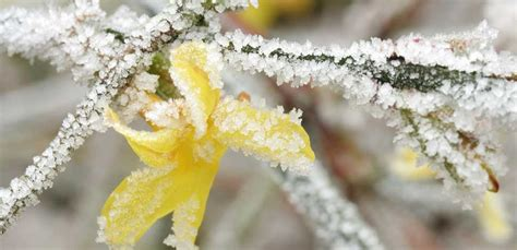 fiori gialli invernali fiori invernali il gelsomino giallo porta il sole in