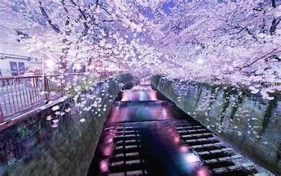 Sakura Desktop Tokyo Japanese Wallpapersafari Flower Blooming