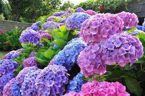 Wie Schnell Wachsen Hortensien by Hortensiend 252 Nger N 228 Hrstoffe F 252 R Hortensien