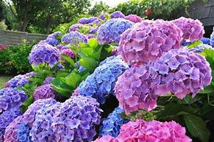 Blaudünger Für Hortensien : hortensiend nger n hrstoffe f r hortensien ~ Michelbontemps.com Haus und Dekorationen