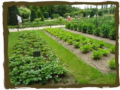 Garden Fancy Potager Veggie