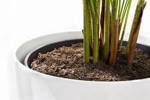 Kentia Palme Braune Blätter : kentia palme umtopfen so gehen sie am besten vor ~ Watch28wear.com Haus und Dekorationen