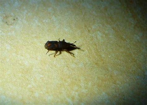 insectes dans la cuisine dryophthoridae petit insecte noir dans la maison le monde des insectes