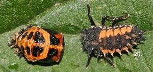 Schwarze Käfer Im Garten : asiatischer marienk fer harmonia axyridis ~ Lizthompson.info Haus und Dekorationen
