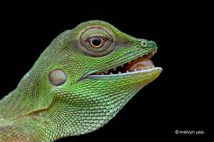 Green Crested Lizard by melvynyeo on DeviantArt