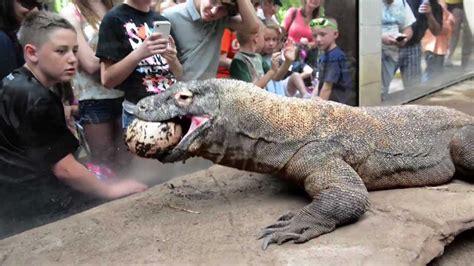 komodo dragon smaug enjoys  easter ostrich egg youtube