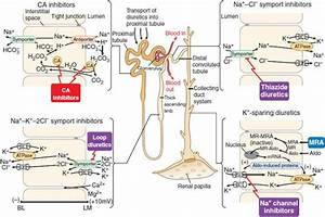 Regulation Of Renal Function And Vascular Volume