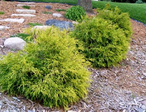 small evergreen shrubs compact evergreen shrubs www pixshark com images galleries with a bite