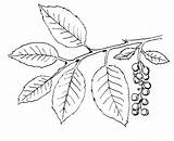 Ivy Poison Plant Drawing Coloring Pages Vine Plants Getdrawings sketch template