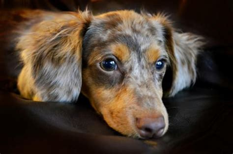 dachshund mix images  pinterest dachshund mix