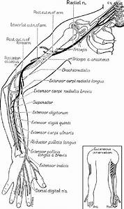 Course And Distribution Of The Radial Nerve   From