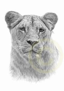lioness pencil drawing | Lioness Drawing Pencil Print ...