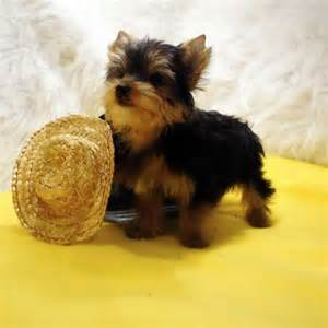 Miniature Teacup Yorkie Puppies for Sale
