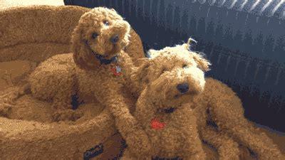 confused dogs turning heads gif   WiffleGif