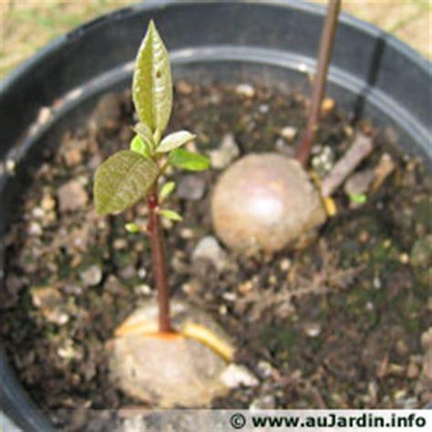 plantation de l avocatier jardinage de mon jardin