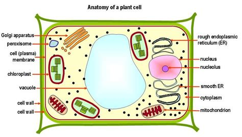 gopdebates picture  animal cell labeled