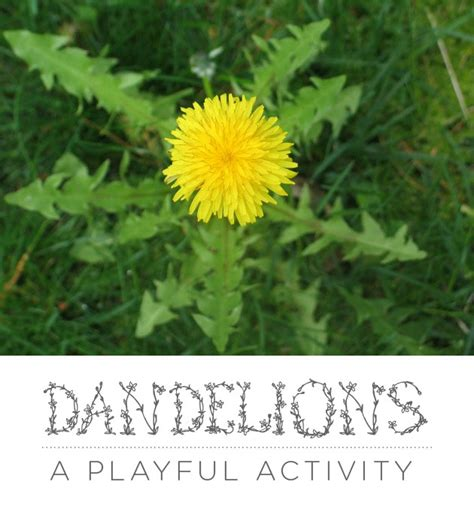Dandelions A Playful Experience For Bringing Them To Life  Green Acorns