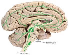 Serotonin Brain Pathways