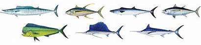 Tuna Range Fish Fishing Gulfstream Wahoo Mile