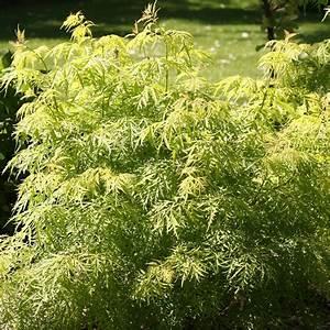 Purin De Sureau : sambucus racemosa lemony lace sureau grappes ~ Melissatoandfro.com Idées de Décoration