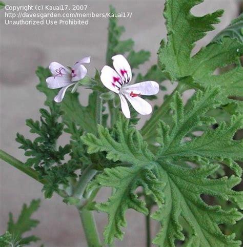 plantfiles fotos citrosa geranium mosquito flora