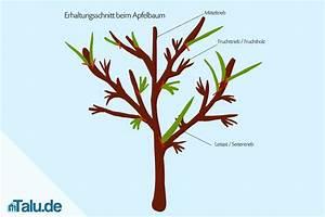Apfelbaum Schneiden Anleitung : anleitung apfelbaum selbst schneiden apfelbaumschnitt ~ Eleganceandgraceweddings.com Haus und Dekorationen