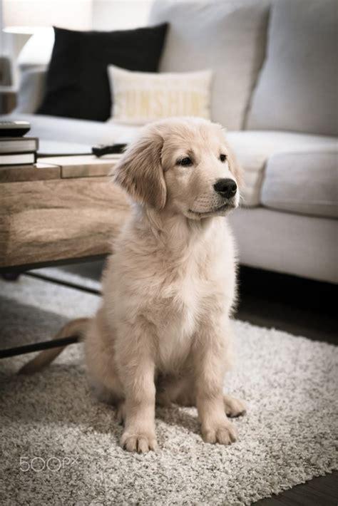 Best 25 Golden Retriever Puppies Ideas On Pinterest