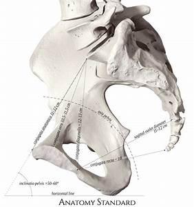 Pelvis  U0026 Gender Differences Of Pelvic Anatomy