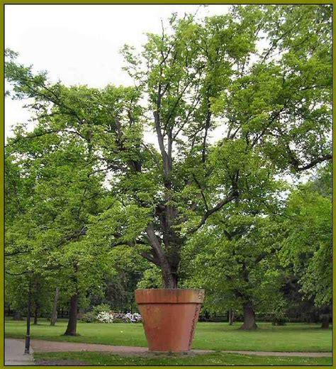 Baum Kübel Winterhart by Topfbaum Foto Bild Quatsch Und R 228 Tselecke