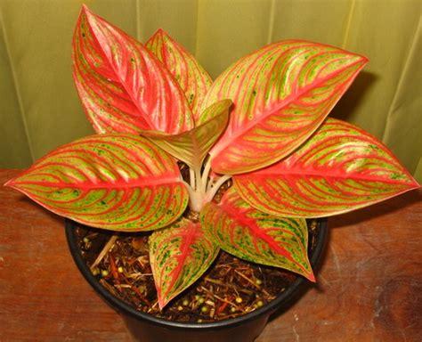 tanaman aglaonema legacy bibitbungacom