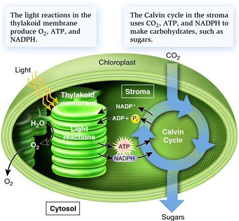 Where In The Chloroplast Do The Light Reactions Occur by Solved Photosynthesis And Kreb Cycle