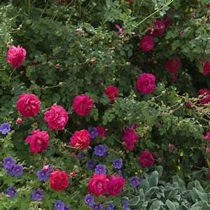 Rosier Grimpant Remontant : 1000 ideas about rosier grimpant remontant on pinterest ~ Melissatoandfro.com Idées de Décoration