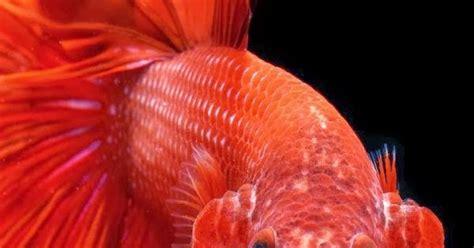 betta fish blood red halfmoon betta fish flaring