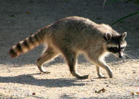 Raccoon, Procyon lotor