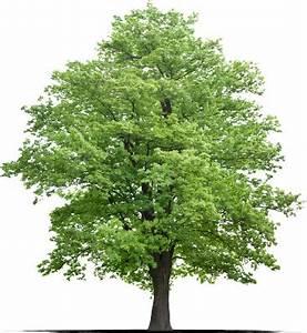 Roter Ahorn Baum : berg ahorn with ahorn ~ Michelbontemps.com Haus und Dekorationen