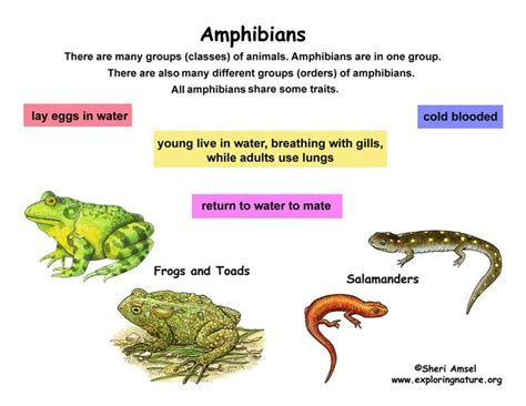 Classification of Living Things Chart Class Amphibians