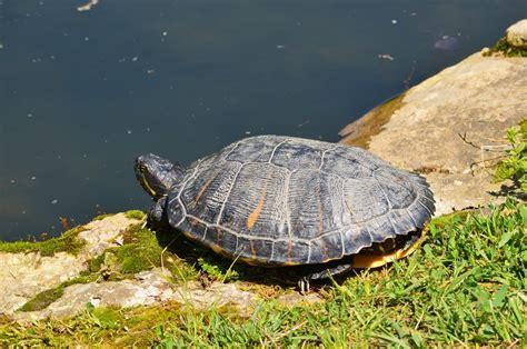 aquatic turtle basking light encouraging red eared slidesr to bask