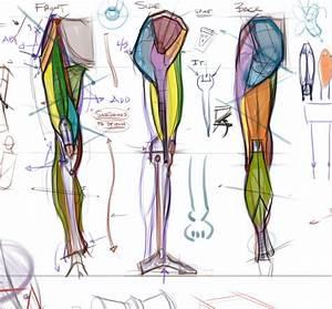 Figuredrawing Info News  Leg Anatomy