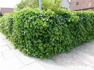 Efeu Pflanzen Kaufen : pflanzen mit anwachsgarantie hedera hibernica irischer efeu hier g nstig kaufen ~ Buech-reservation.com Haus und Dekorationen