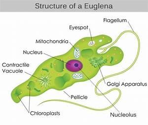 Euglena Structure